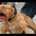 Furious Pitbull